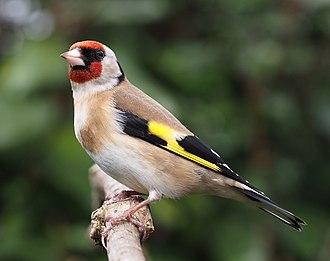 European goldfinch - In Wigan, UK