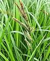 Carex acutiformis plant (14).jpg