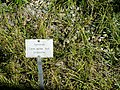 Carex aurea - Botanical Garden, University of Frankfurt - DSC02519.JPG