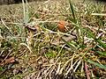 Carex caryophyllea spring.JPG