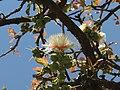 Careya Arborea021.jpg