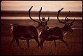 Caribou Trot Across the Tundra, near Prudhoe Bay Where the Pipeline Will Start 08-1973 (3971960000).jpg