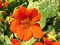 Carnation dwarf.JPG