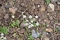 Carum carvi in Jardin Botanique de l'Aubrac.jpg