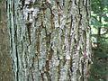 Carya glabra-bark.jpg