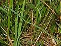 Caryophillaceae - Dianthus monspessulanus-1.JPG