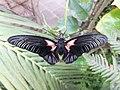 Casa delle Farfalle - Papilio rumanzovia 03.jpg