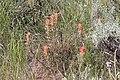 Castilleja angustifolia - Flickr - andrey zharkikh.jpg