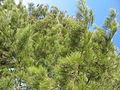Casuarina equisetifolia - Cabanas de Tavira Portugal 01.JPG
