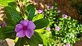 Catharanthus roseus flowers in Kerala 3.jpg