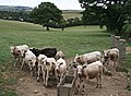 Cattle Expecting Feed - geograph.org.uk - 219679.jpg