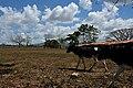 Cattle ranching.jpg