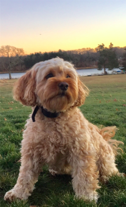 Cavapoo - The complete information and online sale with free