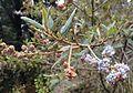 Ceanothus caeruleus.jpg
