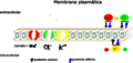 Cell membrane - Cellular biology - adapted for ions gradient and membrane channels.png