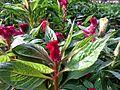 Celosia argentea (Cocks comb) in bd 03.jpg