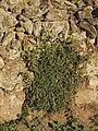 Celtis australis 20091016.jpg