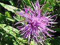 Centaurea scabiosa a1.jpg