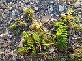 Ceratophyllum demersum s. str. sl8.jpg