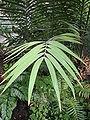 Ceratozamia mexicana Brongn - listy.JPG