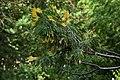 Cercidiphyllum japonicum au Plateau des poètes003.JPG