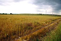 Cereal field at Sutton Courtney - geograph.org.uk - 1348877.jpg