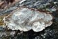 Cerioporus mollis 840818.jpg