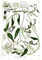 Ceropegia elegans Govindoo.jpg