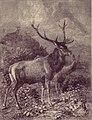 Cervo illustrazione di F. Specht.jpg