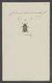Cetonia - Print - Iconographia Zoologica - Special Collections University of Amsterdam - UBAINV0274 022 06 0042.tif
