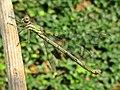 Chalcolestes viridis (Lestidae) (Western Willow Spreadwing) - (female imago), Arnhem, the Netherlands.jpg