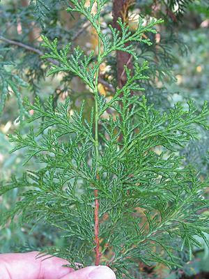 Chamaecyparis obtusa - Foliage; underside showing white stomatal lines