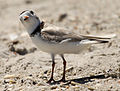 Charadrius melodus -Cape May, New Jersey, USA -adult-8.jpg