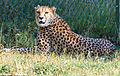Cheetah at Parken Zoo (14790789784).jpg