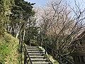 Cherry blossoms in Sasayama Park 1.jpg