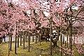 Cherry tree in Zuiganji (2456120580).jpg