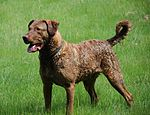 Chesapeake Bay Retriever1.jpg