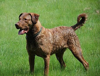 A Chesapeake Bay Retriever.