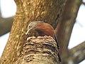 Chestnut tailed starling-kattampally - 3.jpg