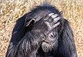 Chimpanzee, Ol Pejeta Conservancy, Kenya (32450419367).jpg