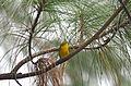 Chipe Corona Negra, Wilson's Warbler, Wilsonia pusilla (10130014424).jpg