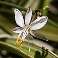 Chlorophytum comosum-Chlorophytum commun-Fleur-20160423.jpg