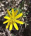 Chrysactinia mexicana 1.jpg