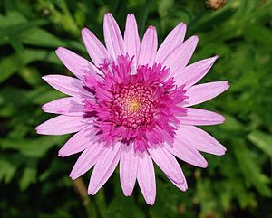 Asteraceae - A flower head showing the individual flowers opening from the outside (Chrysanthemum cultivar 'Bridesmaid')