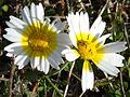 Chrysanthemum coronarium. Mahieddine Boumendjel.JPG