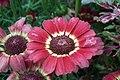 Chrysanthemum from lalbagh7265.JPG