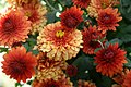 Chrysanthemum x Jennifer 5zz.jpg