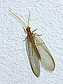 ChrysoperlaCarnea1.jpg