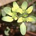Chrysosplenium nagasei (fruits s3).jpg