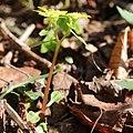 Chrysosplenium nagasei s8.jpg